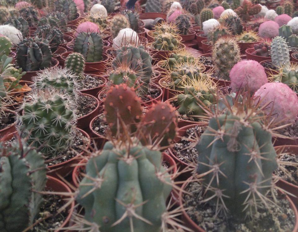 plantas de interior cactus